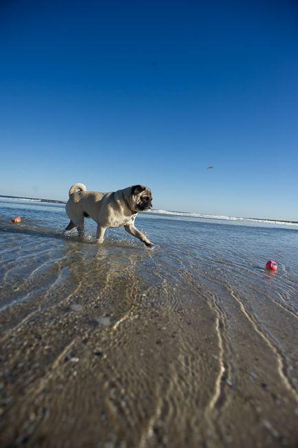 Enjoying A Day At The Beach Pug See