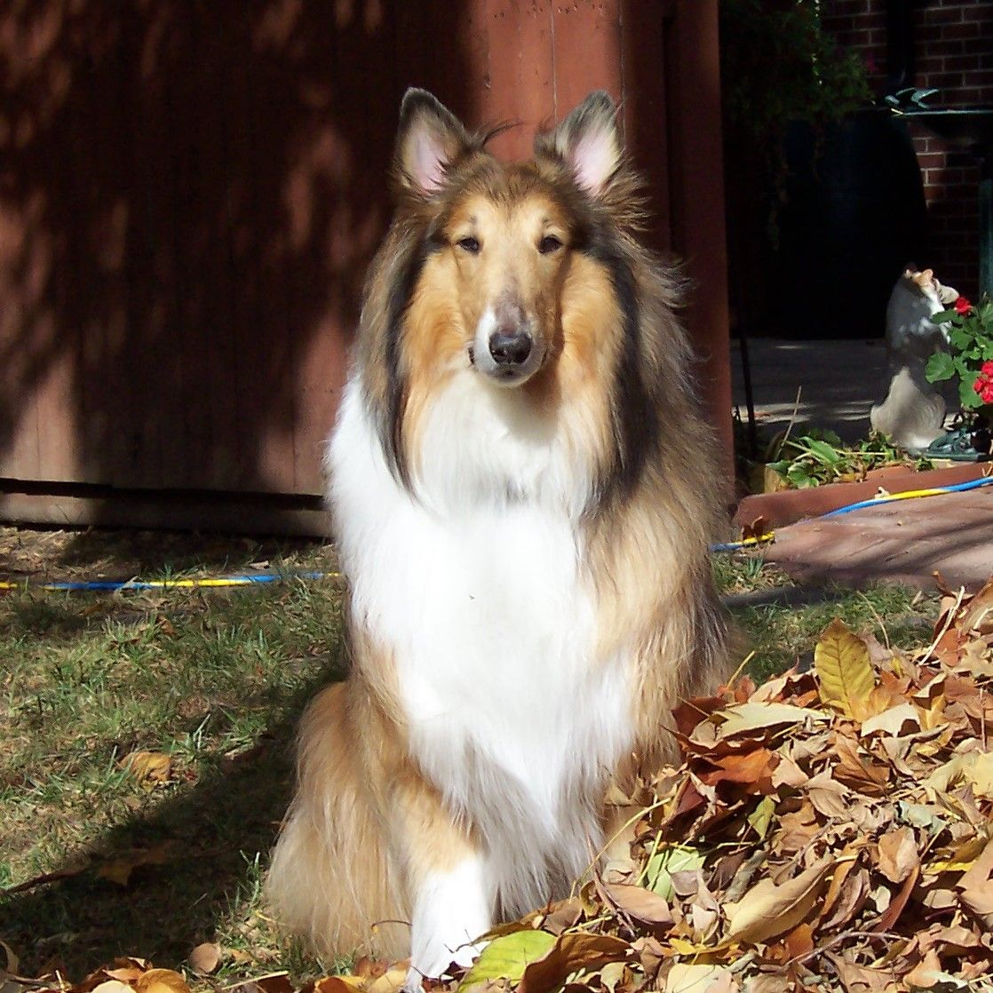 My Beautiful Boy Tanner Rough Collie Collie Big Dogs