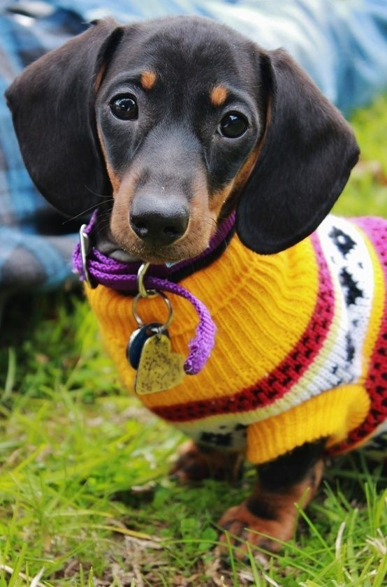 25 Dogs Bundled Up For Winter Dogs Dachshund Puppies Weenie Dogs