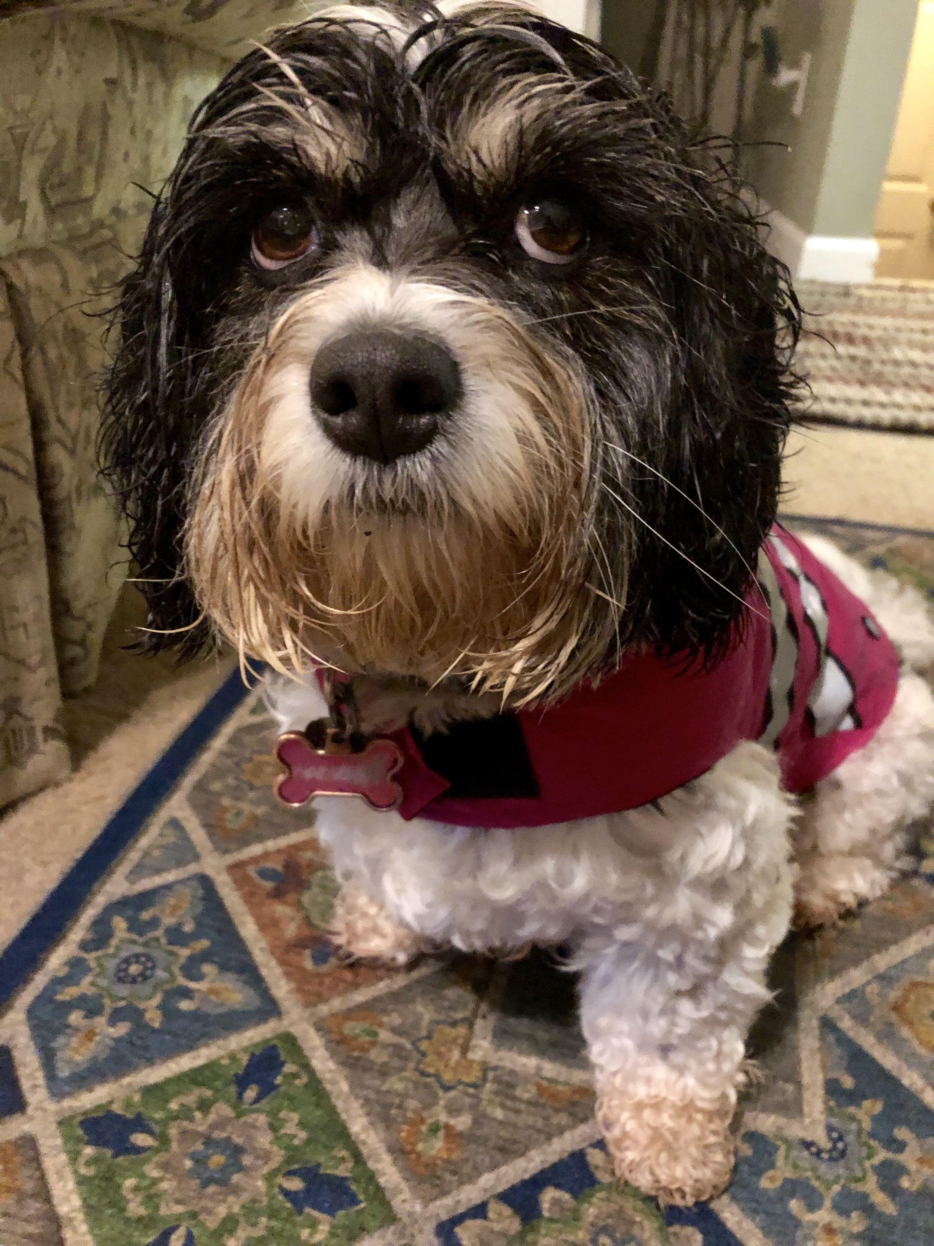 Pin By Tammy Mcbrien On Cavachon Gemma Cavachon Dogs Animals
