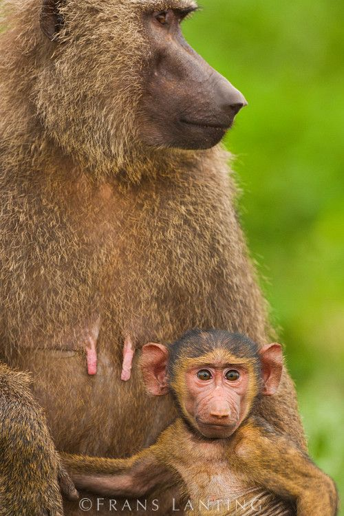 Africa Baboon female with infant Mole National Park