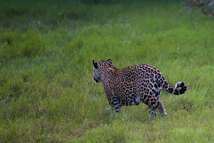 Female Jaguar Side On   What Is The Difference Between A Jaguar And A  Leopard?