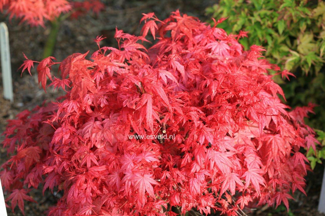 Chishio Seigai Or Seigen Misnamed Corallinum 2015 From Topiary