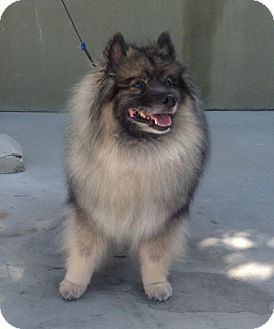 Keeshond Dog For Adoption In Southern