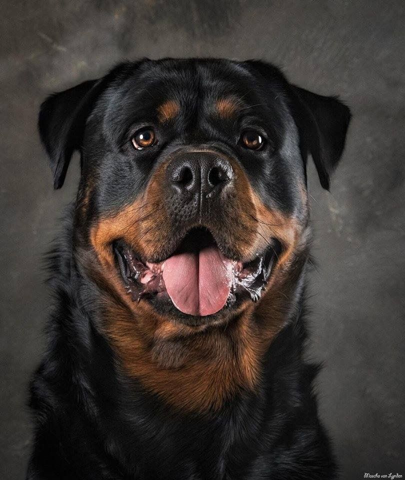 pin von bertl auf rottweiler pinterest hunde. Black Bedroom Furniture Sets. Home Design Ideas