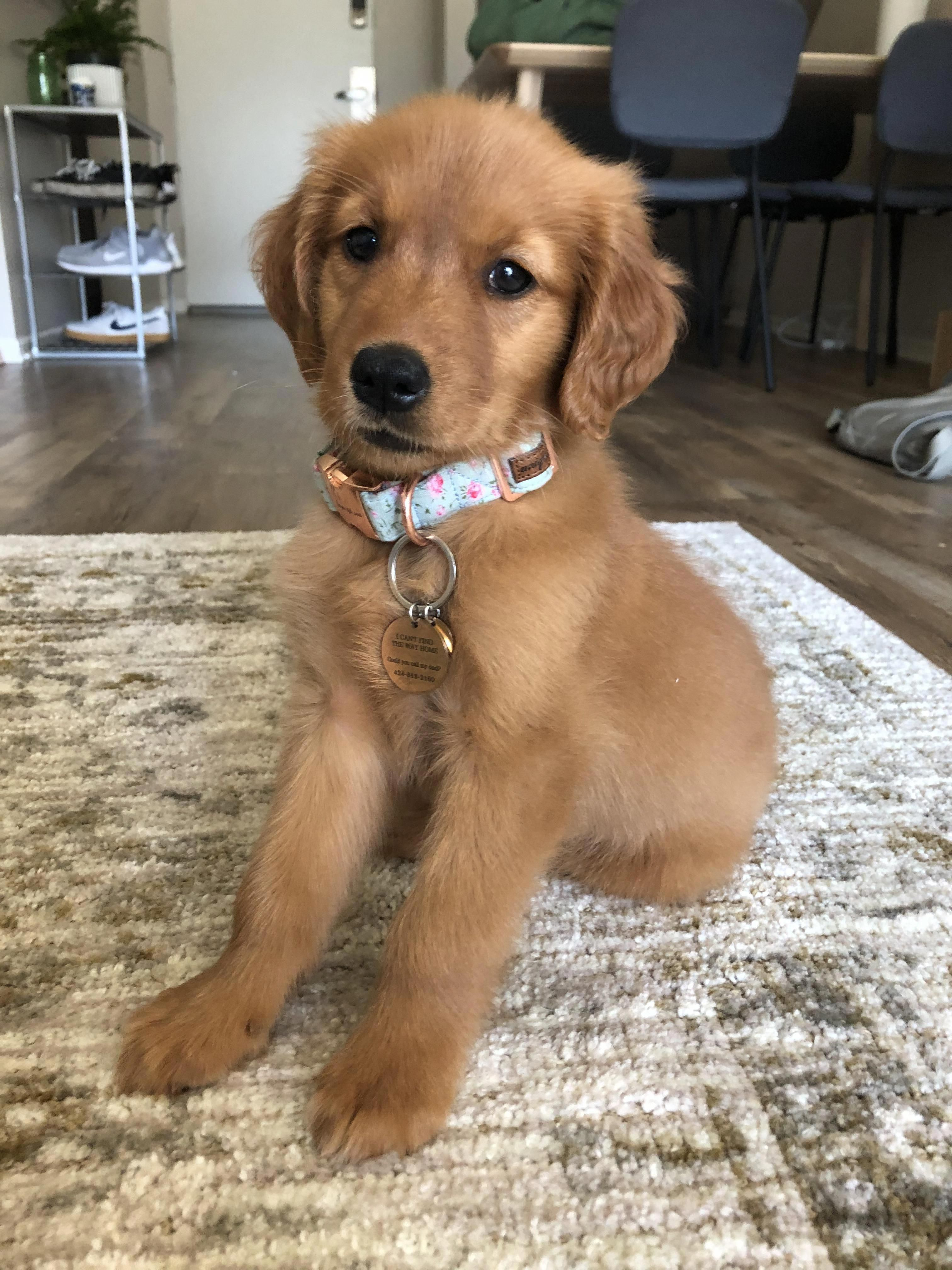 Meet Harper 9 Weeks Old Today And My First Golden Retriever She Loves Napping And Meeting New People In 2020 Dogs Golden Retriever Golden Retriever Cute Dogs Breeds