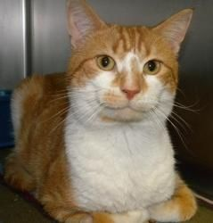 Tip Toe Is An Adoptable Domestic Short Hair Orange And White Cat In Canastota Ny Tip Toe Is A Very Cute Orange Ti Orange And White Cat Cat Adoption Animals