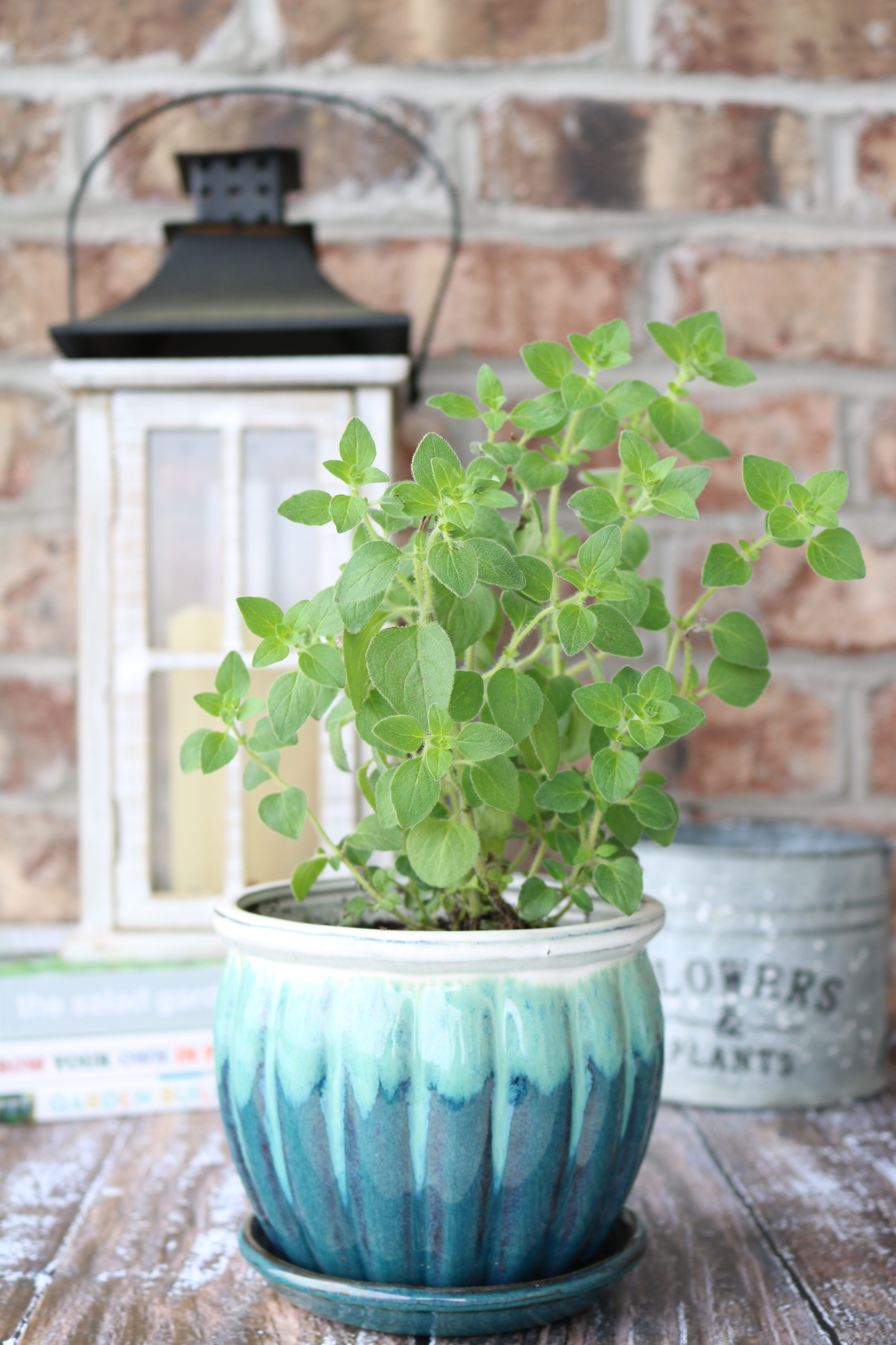 Hot & Spicy Oregano What It Is and Why You Need It in