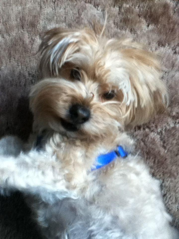 Rex Yorkie Bichon mix♥ Yorkie, Poodle, Animals