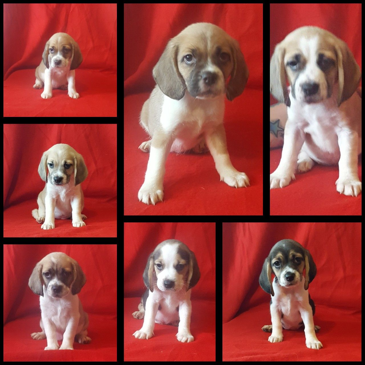 Our April Litter Of Mainly Chocolate Puggle Puppies Are Ready To