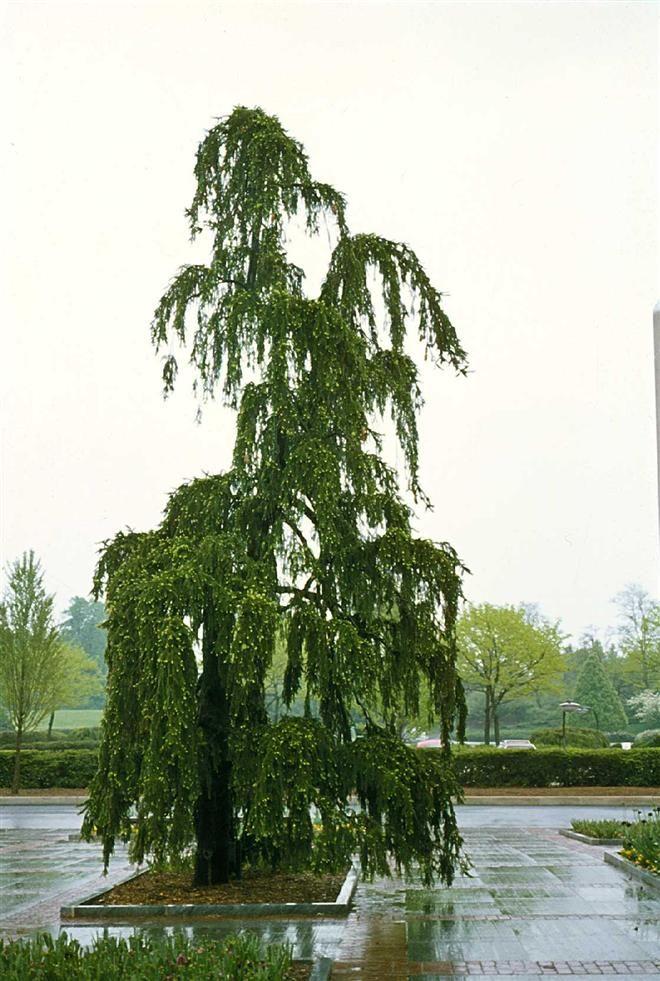 Picea abies 'Pendula' (Norway Spruce, Weeping Norway Spruce)