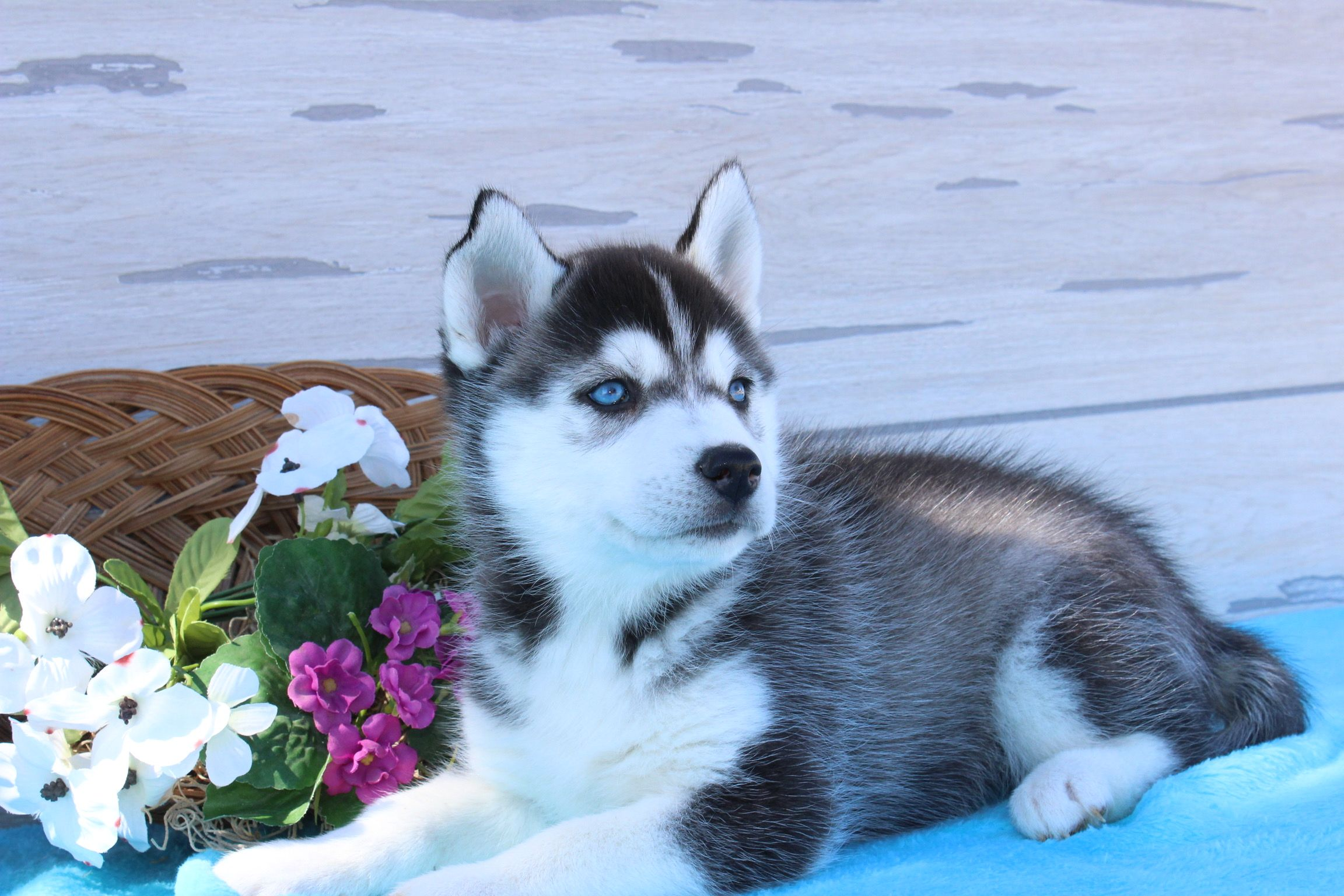 Juno A Female Siberian Husky Puppy For Sale In Indiana Find