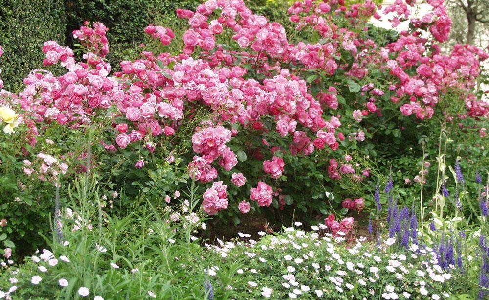 so gestalten und pflanzen sie eine rosenhecke zierg rten pinterest. Black Bedroom Furniture Sets. Home Design Ideas