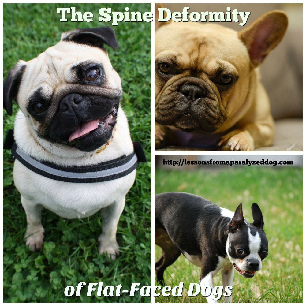 Hemivertebrae The Spine Deformity In Flat Face Dogs Dogs