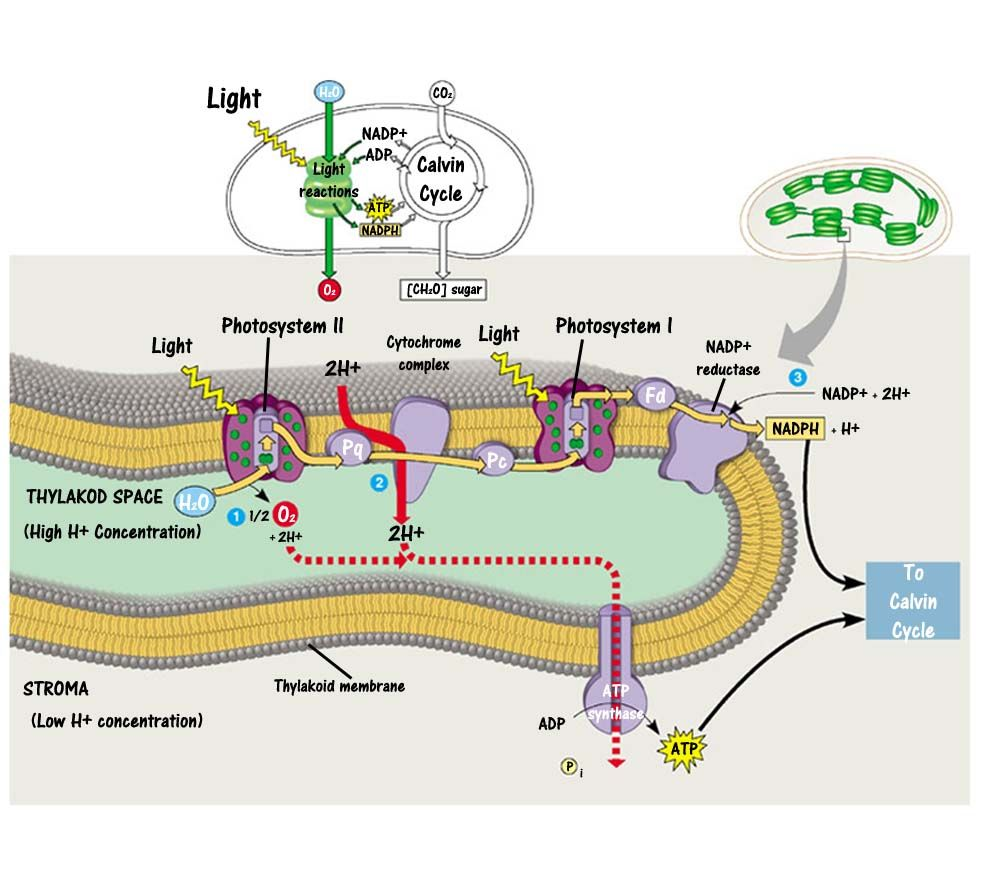 Photosynthesis Diagram - Bing Images | Biology | Pinterest ...