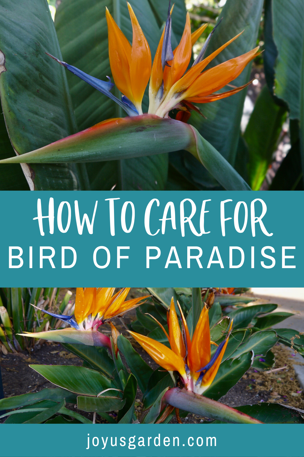 Bird Of Paradise Plant Care In 2020 Paradise Plant Birds Of Paradise Plant Birds Of Paradise
