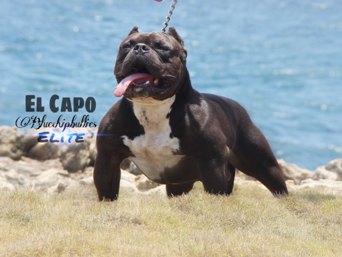 El Capo Line Bully Dog Bully Breeds Dogs American Bully