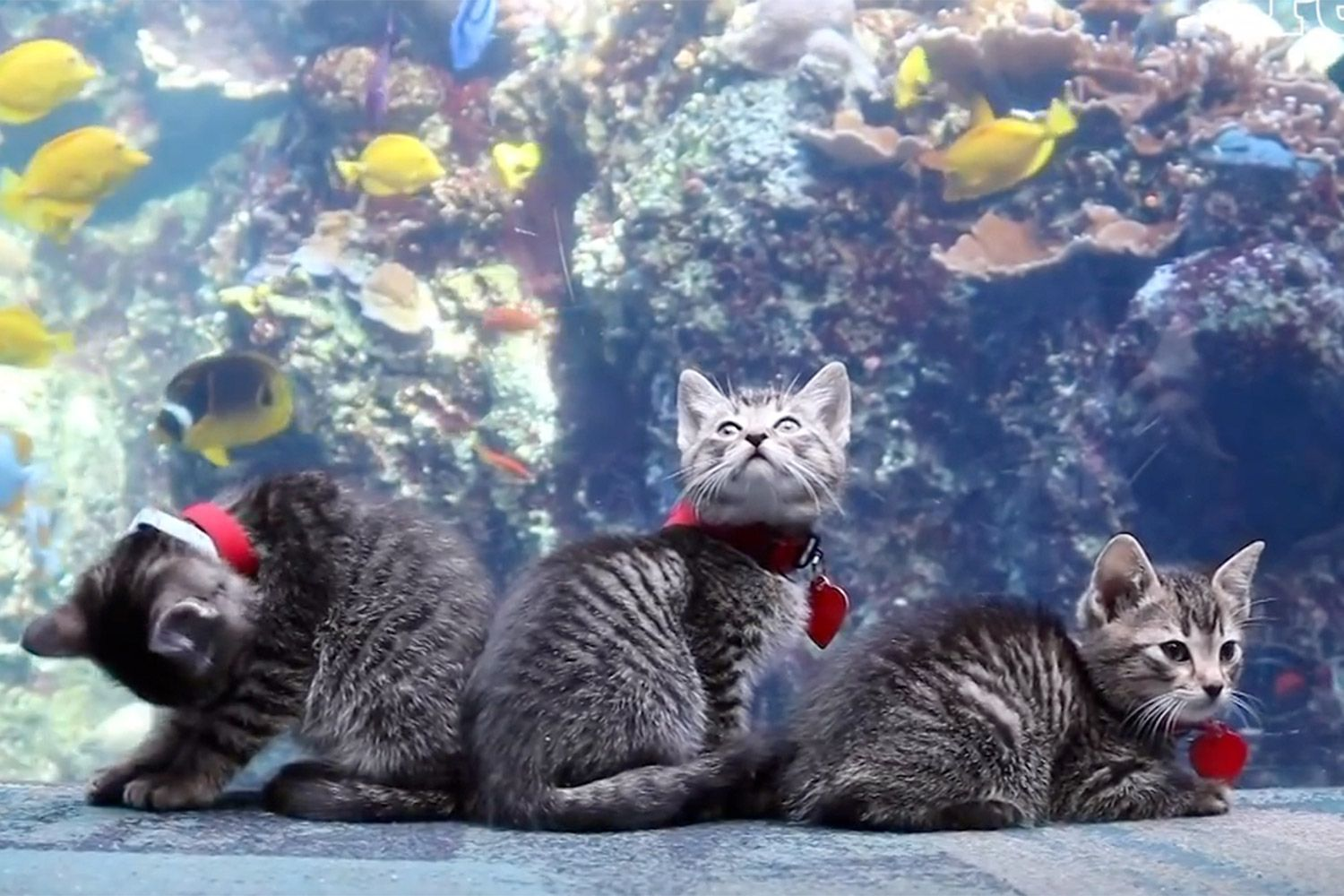 Adorable Litter Of Kittens Go On Field Trip To Georgia Aquarium While It S Closed To The Public In 2020 Georgia Aquarium Kittens Animals