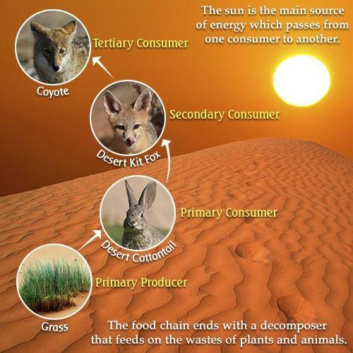 Make A Food Chain In A Desert
