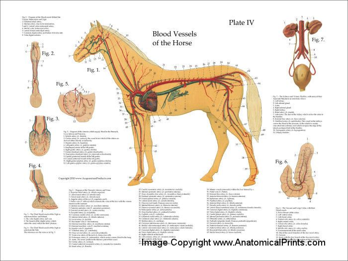 Heart of the horse part 1 equine system cardiovascular horse anatomy chart equine vascular system poster ccuart Images