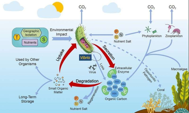Scientists Propose That Vibrios Have Significant Roles In Marine Organic Carbon Cycle Carbon Cycle Marine Biology Earth Science