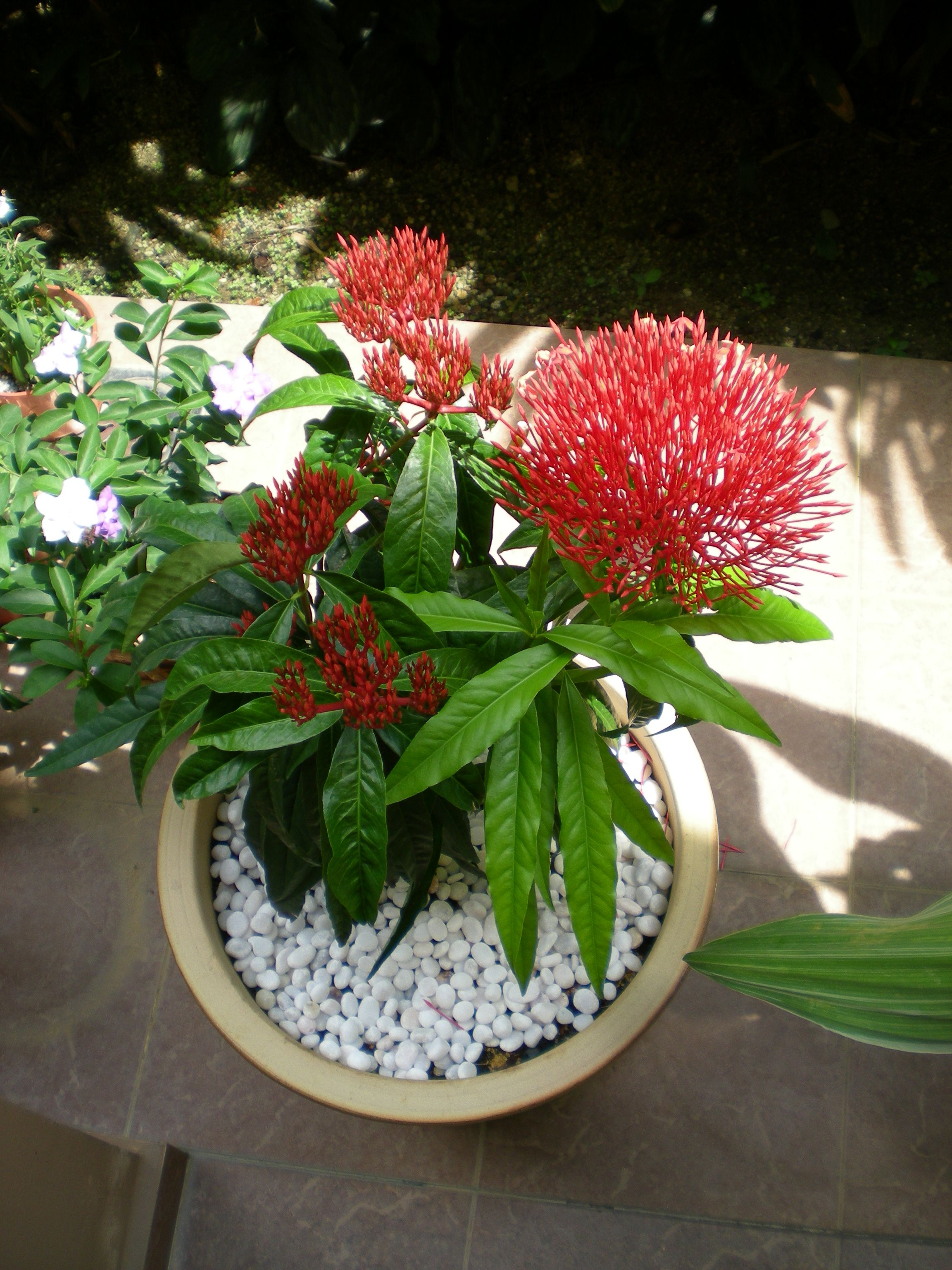 Buy Ixora In Orlando Florida Lake Mary Kissimmee Sanford: Aaron's Gardening Blog: The Hot, The Loud, And The Proud