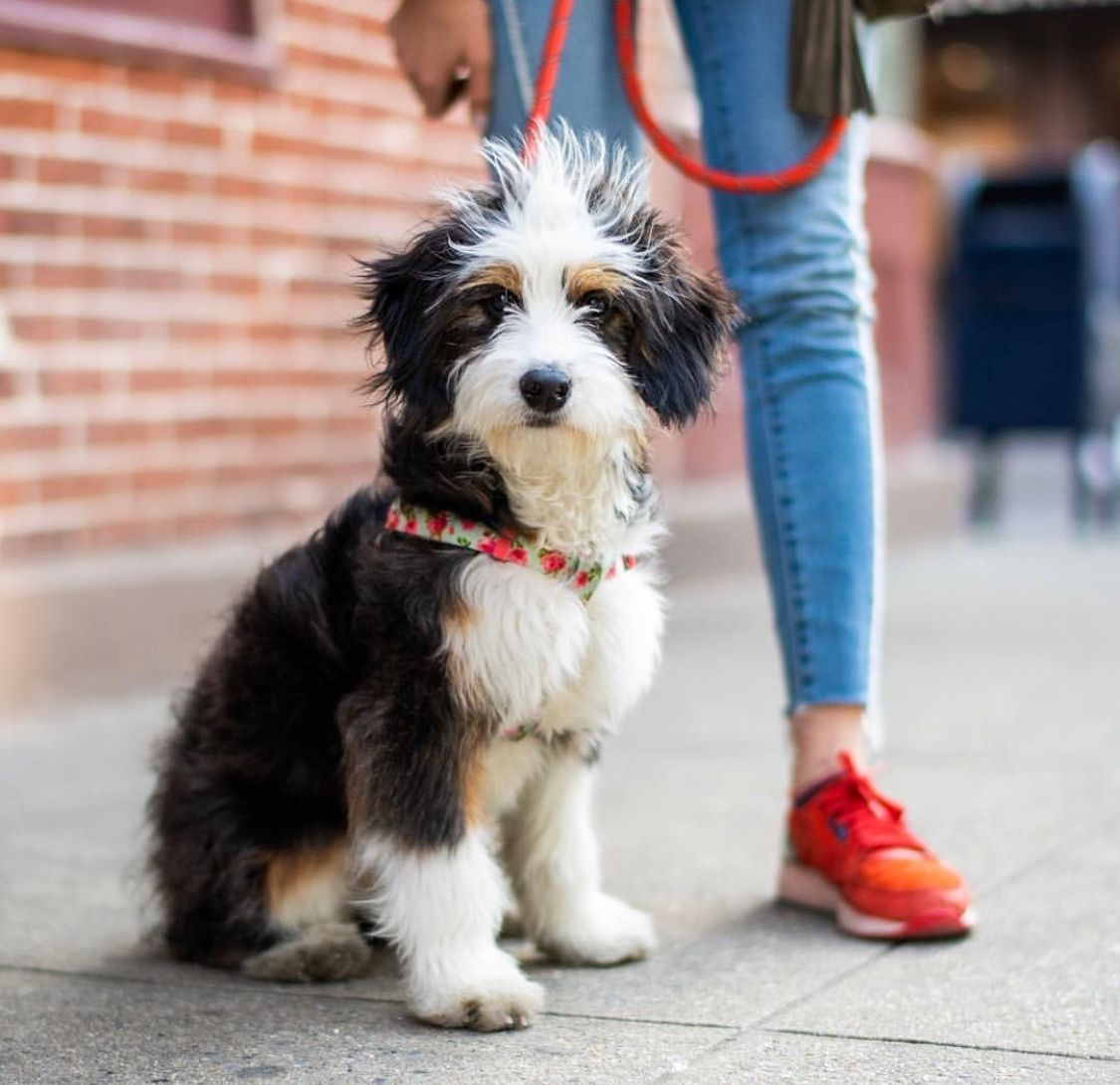 Pin By Samantha Hornung On Puppy Love Bernedoodle Bernadoodle Bernese Mountain Dog Poodle