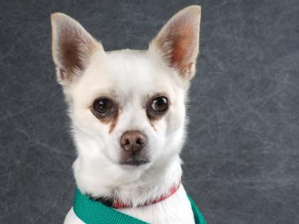 Adopt Nemo A Lovely 4 Years Dog Available For Adoption At Petango Com Nemo Is A Chihuahua Short Coat Mix And Is Avail With Images Homeless Pets Dog Adoption Chihuahua
