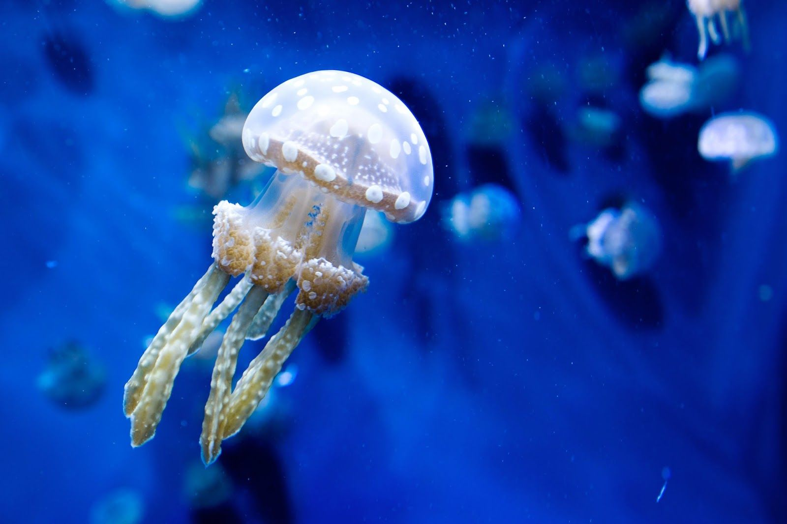 9 types of jellyfish with perfect pictures jellyfish