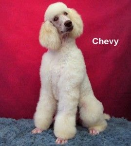 Older Pups Adult And Retired Poodles Available Poodle Standard