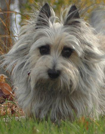 Cairn Terrier Cairn Terrier Terrier Norwich Terrier