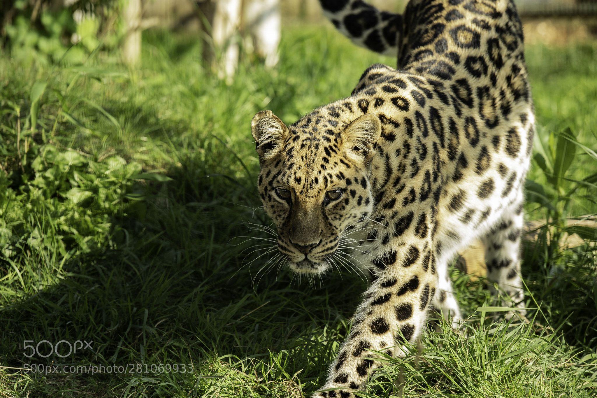 Amur Leopard SeriesTaken at The Big Cat Sanctuary in Kent