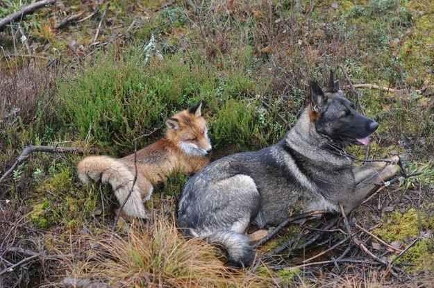 Fuchs und Hund