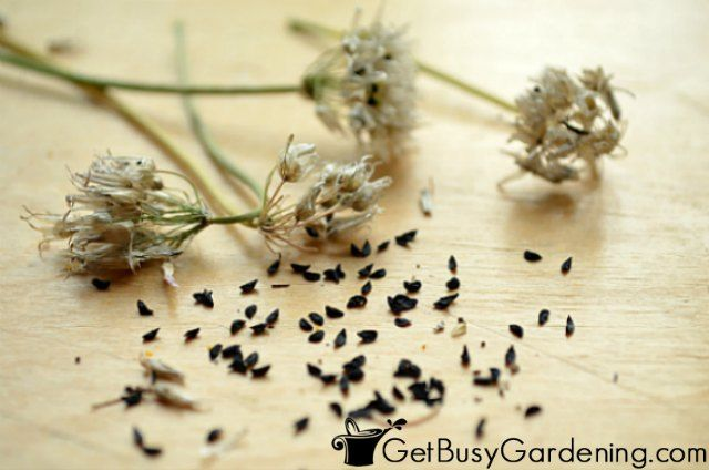 How To Harvest Collect Chive Seeds In Your Garden Chive Seeds Chives Plant Growing Seeds