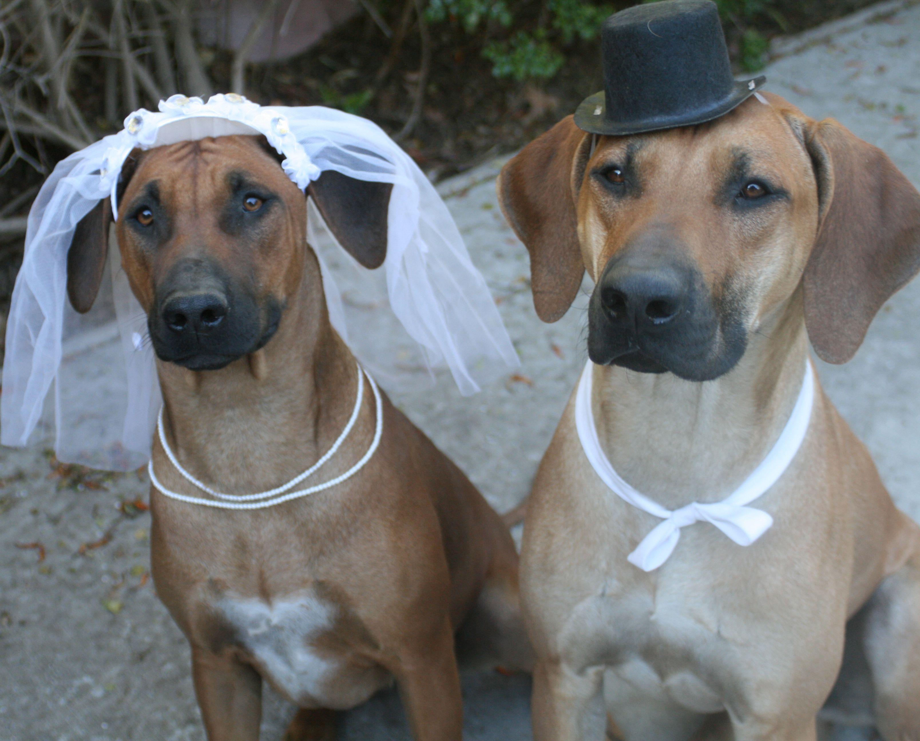 Dog Wedding - Rhodesian Ridgeback