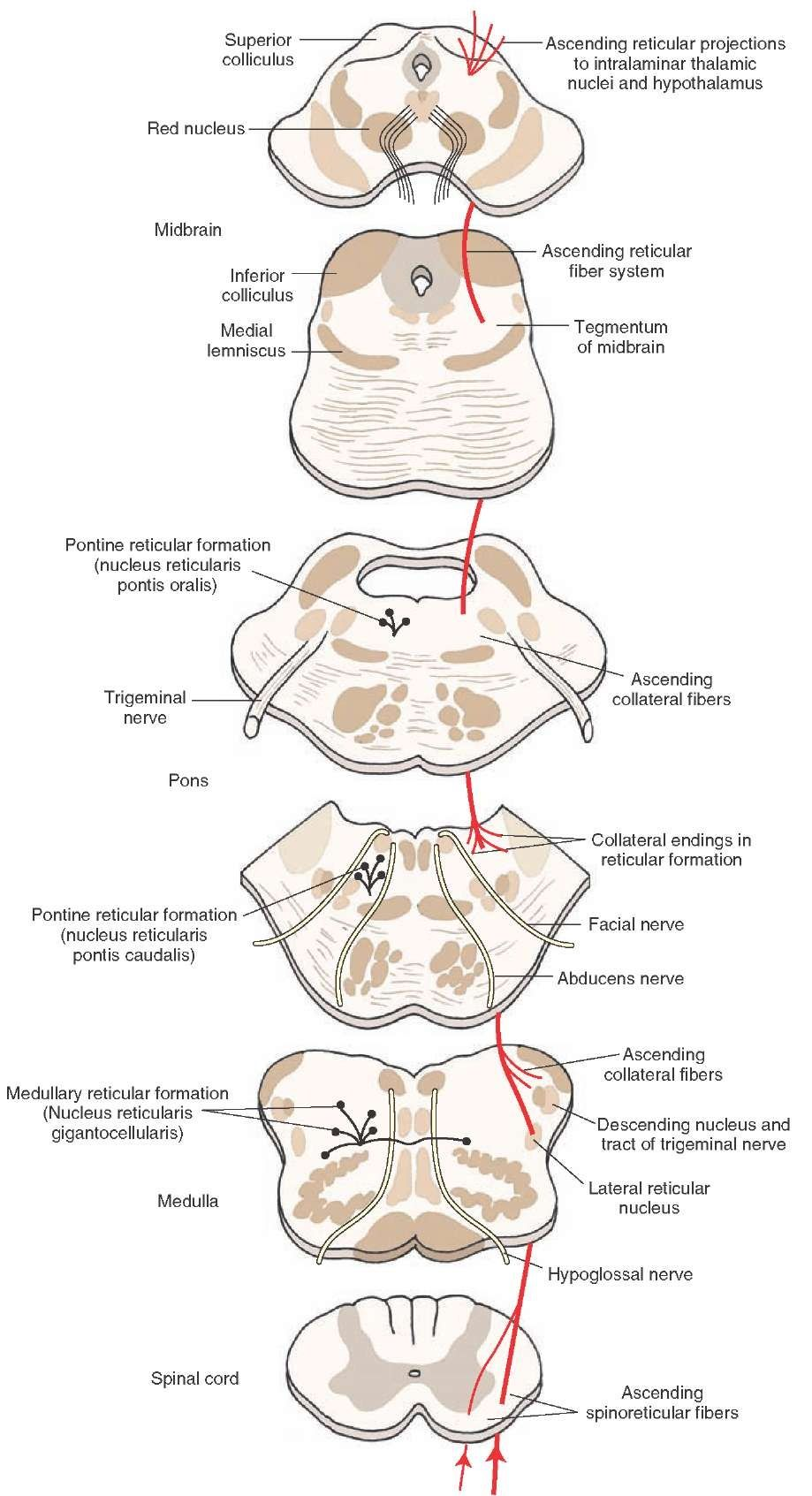 The connections of the lateral spinothalamic tract, including those ...