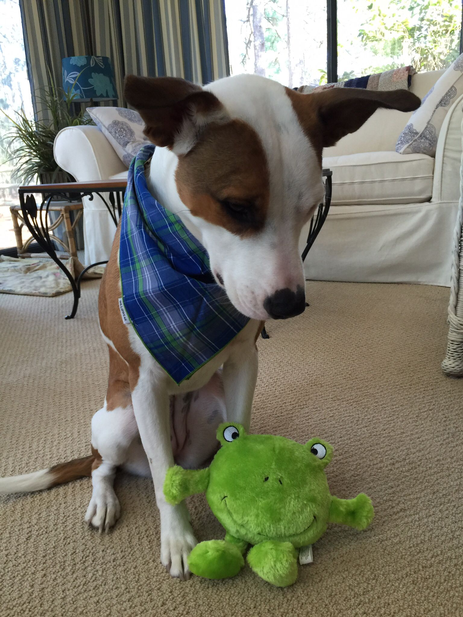 Roxi looks so stylish in her new bandanna. She also hasn't stopped playing with her new favorite toy the frog. #Pawpalswithannie #willowearpetbandans #zippypaws