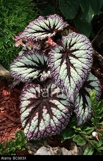 Stock Photo Variegated Leaves Of Begonia Fireworks Rex Taken At Chester Zoo England Uk Begonia House Plants Indoor Plants Names