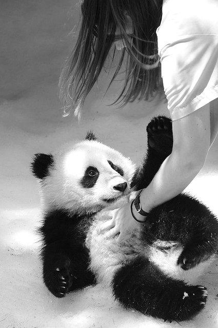 Ahhh, eu quero fazer carinho em um panda também!