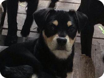 Braham Mn Pug Rat Terrier Mix Meet Prada A Puppy For Adoption