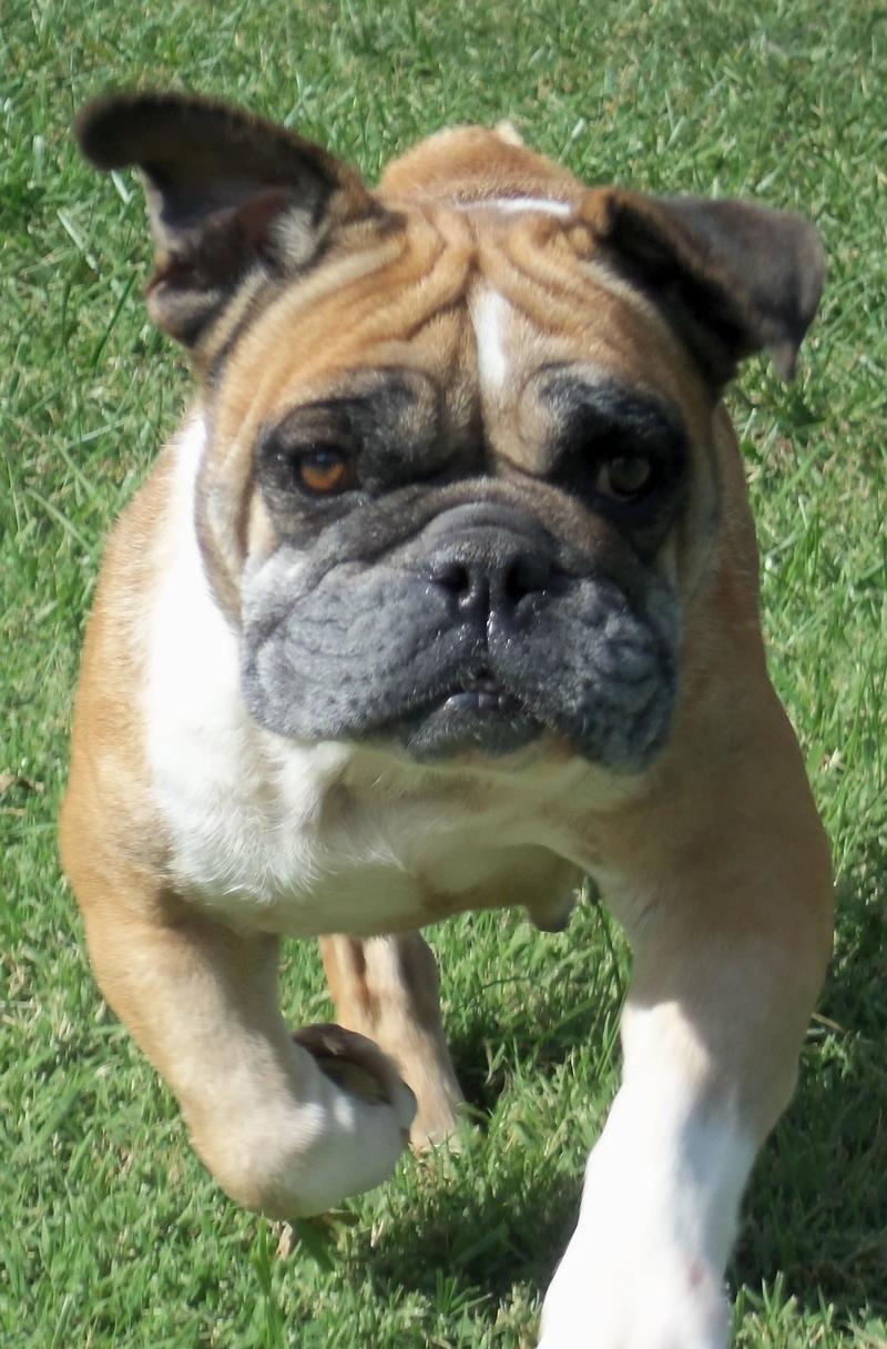 Petfinder Adoptable English Bulldog Dog Oak Grove