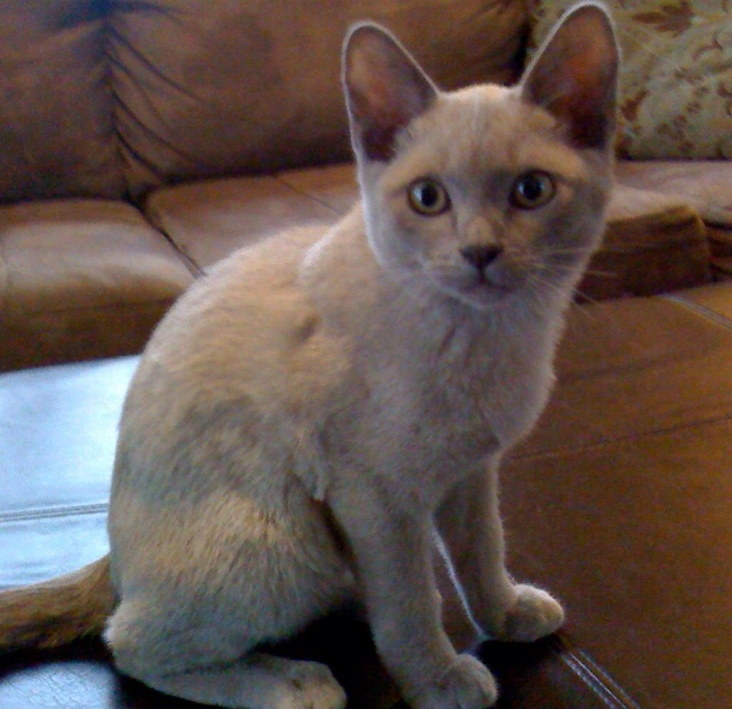 Baby Tofu.!!love at first sight!! Burmese cat, Cats