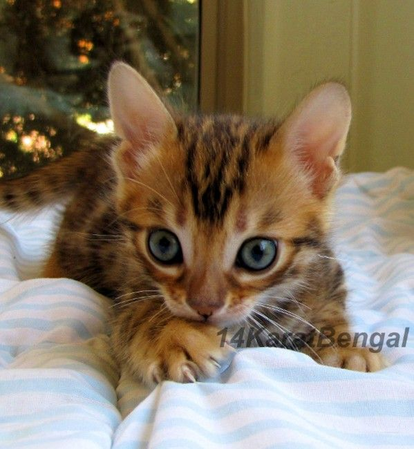 14karatbengal Traditional And Cashmere Bengal Cat Cattery Yavapai County Arizona 86326 Bengale Bengale Cat