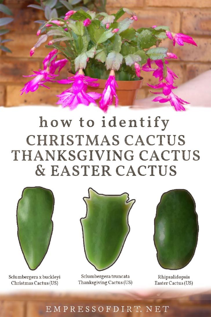 How to Identify Christmas and Thanksgiving Cactus