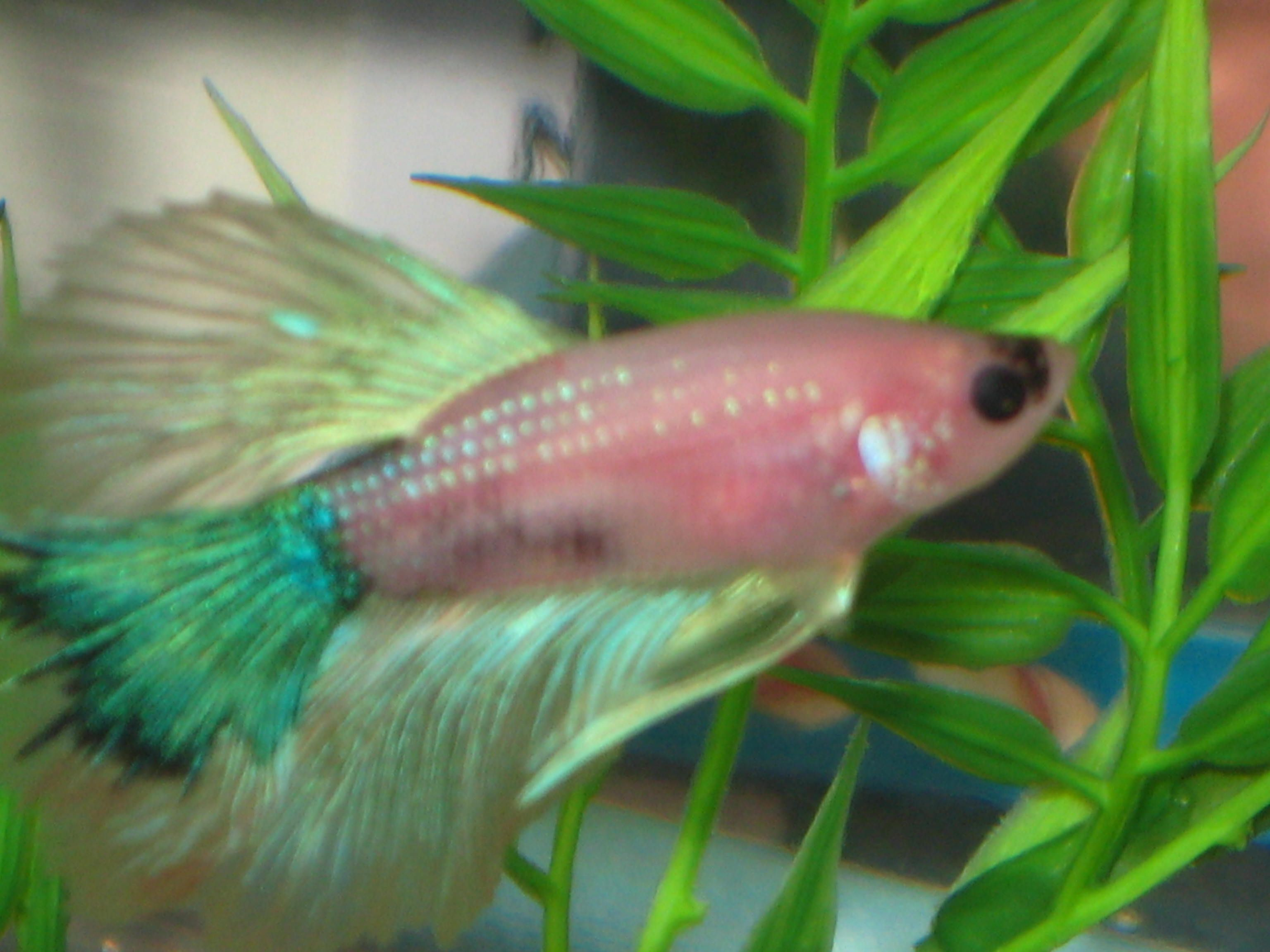 My betta fish beauty queen the fish whisperer pinterest my betta fish beauty queen reviewsmspy