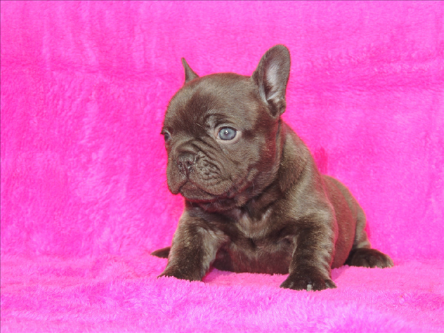 French Bulldog Puppies For Sale In Houston Texas French Bulldog Puppies Bulldog Bulldog Puppies