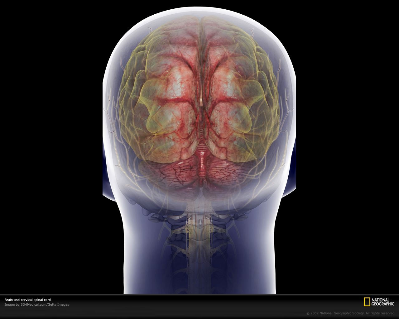 Rear view of the brain and cervical spinal cord - Image by ...