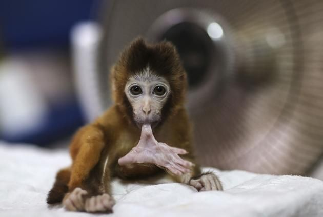 A three-month-old macaque bites its toe in front of a fan heater at a wildlife park in Kunming, Yunnan province
