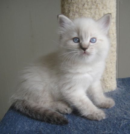 Ragdoll Cat Breeder San Diego Breeder Reviews Ragdoll Cats For Sale Cat Breeder Ragdoll Cat