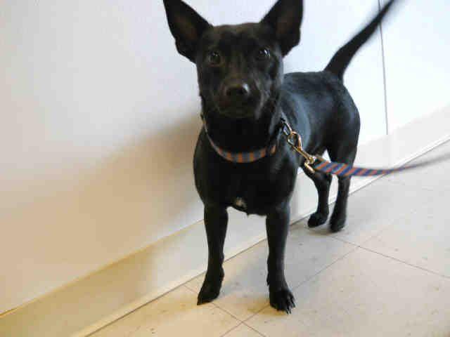 A056035 Schipperke Mix Young Male Small Bay County Animal Control Panama City Fl Kitten Adoption Dog Adoption Pets